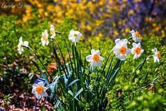 flowers, at #Brooklyn Botanic Gaden .   #spring #newyork (lelobnu) Tags: newyork brooklyn spring