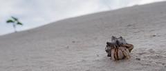 Lone Hermit on Dunes (--Welby--) Tags: ocean sea beach coast sand dunes crab australia cable western kimberley crustacean hermit broome