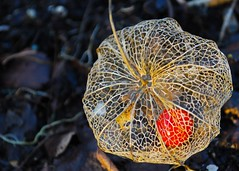 lantern flame (flowergirlaaa) Tags: autumn red plant skeleton berries lace seed lantern physalis chineselantern capegooseberry