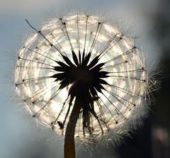 Dandelion eclipse (conall..) Tags: sun colour macro evening rainbow dandelion seedhead refraction backlit raynox raynoxdcr250 exlipse 160516
