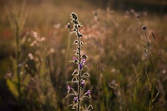 Light 2 (Nature and human beings) Tags: light sunset plant lumire soir garrigue