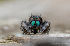 Daring Jumping Spider (strjustin) Tags: macro beautiful canon spider insects bugs 60mm jumpingspider compositephotography daringjumpingspider focusstacking 60d canon60d macrodreams