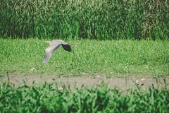 (GeorgianaBraga) Tags: green bird heron nature grass grey flying wings nikon wildlife gray flight delta romania wilderness ornithology birdwatching danube d3100