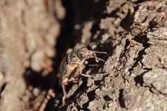 Denia Buprestidae (Phil Arachno) Tags: spain esp arthropoda spanien denia coleoptera insecta hexapoda buprestidae