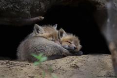 Amour fraternel (Maxime Legare-Vezina) Tags: wild nature animal fauna canon wildlife mammals faune mammifere biodiversite