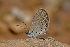 Zizula hylax - the Tiny Grass Blue (BugsAlive) Tags: macro nature animal butterfly insect thailand outdoor wildlife butterflies insects lepidoptera chiangmai lycaenidae polyommatinae tinygrassblue zizulahylax liveinsects thailandbutterflies  chiangdaons