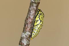 Black-veined White ♀ Aporia crataegi (Roger Wasley) Tags: macro butterfly europe european britain butterflies british chrysalis rare pupa extinct blackveinedwhite aporiacrataegi