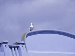 STANDING GULL (didi tokaoui) Tags: sea bird standing photo gull didi oiseau goeland tokaoui