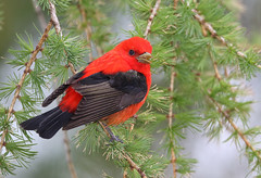 Scarlet Tanager (sspike@rogers.com) Tags: ontario male nature birds canon scarlet tanager steverossi