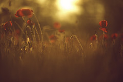 The last light (Misael Lacasta) Tags: canon poppy poppies amapolas misael misaellacasta