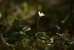 Have you seen the Sun? I miss it ! Explore#24 (bandit4czm) Tags: forest tirol bokeh pflanze clover wald sonnenstrahlen sunray sorrel ferienregion reutte sauerklee ausserfern waldklee