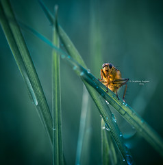 In the land of the giants (Ingeborg Ruyken) Tags: morning macro green grass insect fly spring waterdrop flickr groen may gras mei lente dropbox ochtend vlieg 2016 grashalm empel waterdruppel strontvlieg natuurfotografie yellowdungfly empelsedijk 500pxs 2016lente lentefilm16