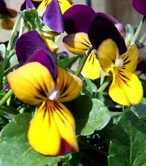 Violen 2016 1 (megegj)) Tags: flower fleur pansy blume fiore gert bloem veilchen viooltje