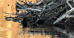Mink at a beaver lodge (harrimanhikers) Tags: outside outdoors hiking social hike beaver mink sterling singles dorisduke harrimanhikers