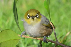 Silvereye or Wax-eye (Zosterops lateralis) (|kris|) Tags: red newzealand wild white green bird nature animal yellow silver grey bill eyes outdoor wildlife small sydney beak feather olive australia aves ring honey nsw angry buff newsouthwales chestnut australien southeast vogel silvereye whiteeye plumage waxeye tauhou passeriformes australi passerine chordata zosterops zosteropslateralis zosteropidae zostropsdosgris grijsrugbrilvogel zlateralis honeyandbear  grryggigglasgonfgel pjarodeanteojos zosteropodelomogris occhialinodorsogrigio