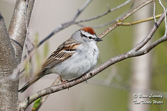 Chipping Sparrow (Brian Lasenby) Tags: spring color northamerica nature sparrow environment forest season behaviour animal red chippingsparrow plant grandbend wildlife tree perch bird spizellapasserina ontario canada rufous lambtonshores places branch
