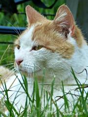 Not my cat. (Cajaflez) Tags: portrait grass kat chat gras katze portret gatto notmycat nietmijnkat