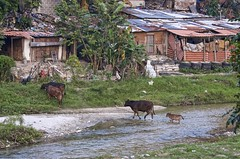 river slum town with cow visitation (Pejasar) Tags: slum poor poverty river cows cattle calf water ladder homes honduras rural