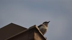 State Bird Mockingbird (Sarahnaturepictures) Tags: wild bird animal nikon state native northern creature mockingbird d3100