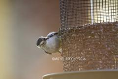 IMG_4638eFB (Kiwibrit - *Michelle*) Tags: tree grass birds woodpecker squirrel maine feeder chipmunk monmouth 2016 061916