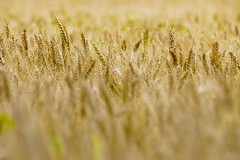 In the middle (Mario Ottaviani Photography) Tags: plant texture nature field closeup gold golden corn wheat sony softness grain seed growth simplicity campo alpha middle delicate tamron oro grano cultivated dorato fragility sonyalpha