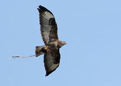 Higher Than A Kite.... (Ger Bosma) Tags: bird flying inflight wings flight prey buzzard soaring caught buteobuteo birdofprey buizerd buse musebussard bussard ratonerocomn europeanbuzzard busevariable busardoratonero poianacomune aguilaratonero 2mg163716