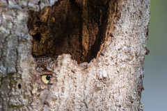 I have my eye on you! (kleinfew) Tags: tree florida camouflage owl cocoa frontyard nesting naturephotography easternscreechowl wildlifephotography hinden kleinfelder canon1dx cavityburrow