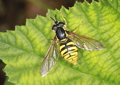 Hoverfly - Chrysotoxum cautum (Prank F) Tags: uk macro nature closeup insect fly wildlife rutland ketton hoverfly wildlifetrust lrwt chrysotoxumcautum kettonquarry