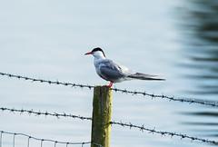 Common Tern (steven waddingham) Tags: wild bird rutland tern