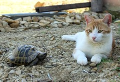 Barney and a Turtle (vintagewithlaces) Tags: orange cat turtle tabby katze schildkrte