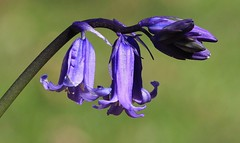 Bluebell 120416 (2) (Richard Collier - Wildlife and Travel Photography) Tags: flowers blue macro flora naturalhistory wildflowers bluebell flowersenglishflowers