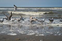 Seagulls (gepixelt) Tags: canonpowershotg7x canon g7x powershotg7x powershot beach brandung meer mwen noordwijk noordwijkaanzee seagulls strand