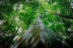 Truncum (matthiasstiefel) Tags: tree trunk baum baumstamm baumkrone samyang12mmf2 truncum