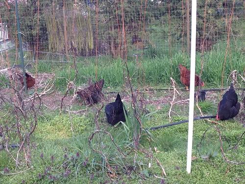 Foraging chickens in the garden