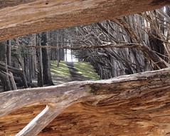 Cypress grove, Fitzgerald Marine Reserve, Moss Beach (Vijay Ramakrishnan) Tags: olympus epl2