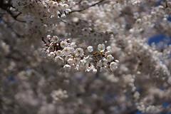 Frhling (binax25) Tags: detail macro spring bokeh pflanze blte frhling wachstum