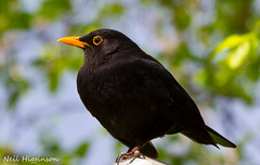 Blackbird (Neil Higginson (@NeilsPhotos)) Tags: top20nature