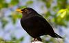 Blackbird (Neil Higginson (@NeilsPhotos)) Tags: top20nature