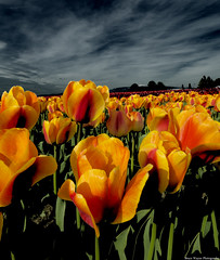 Infrared tulips (Bruce Wayne Photography) Tags: photoshop la washington nikon tulips state awesome valley infrared skagit 28 conner 1424 cs5 d7000