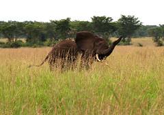 Young Bull Elephant (cowyeow) Tags: africa elephant grass african wildlife young safari angry elephants uganda grassland queenelizabethnationalpark