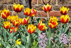 Bright Tulips (podolux) Tags: flowers flower alexandria gardens garden virginia nikon tulips va nikkor 2009 mountvernon 18200vr d80 april2009 snapseed