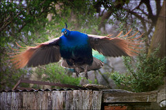 Peacock in flight (Dai Jazz) Tags: inflight peacock