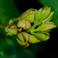 the jeweler´s masterpiece (@petra (away)) Tags: flower nature nikon details birth raindrops buds alamanda pp gettyimagesbrazil