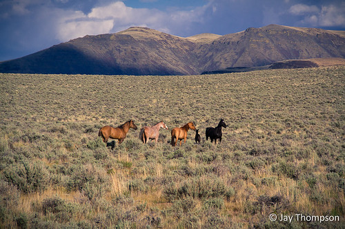 "Wild horses east of Steens Mountain - SE Oregon 5-27-2012 • <a style=""font-size:0.8em;"" href=""http://www.flickr.com/photos/27893238@N07/7155108141/"" target=""_blank"">View on Flickr</a>"
