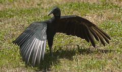 Black Vulture (Darren W. Ritson) Tags: usa nikon florida nikond70 vulture blackvulture birdofprey