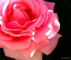 For her (Franco DAlbao) Tags: life pink flower dedication rose petals flor rosa vida gratitude ptalos dedicatoria agradecimiento nikond60 dalbao francodalbao
