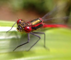 """Damselfly(2)(1)(1)(1) • <a style=""""font-size:0.8em;"""" href=""""http://www.flickr.com/photos/57024565@N00/7160699679/"""" target=""""_blank"""">View on Flickr</a>"""