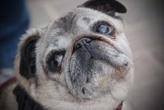 Piglet The Pug :-) (FreddieBrown) Tags: dog pug pro fujifilm s5 snoopcheri