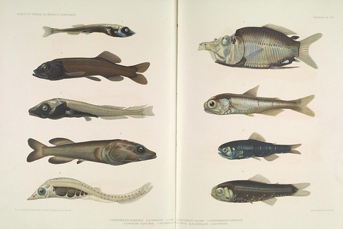 smithsonianinstitutionlibraries bhl:page=37824897 dc:identifier=httpbiodiversitylibraryorgpage37824897 taxonomy:binomial=mentodusrostratus taxonomy:binomial=bathytroctesmicrolepis taxonomy:binomial=asquamicepsvelaris taxonomy:binomial=opisthoproctusgrimaldii taxonomy:binomial=paralepiselongata taxonomy:binomial=myctophumpunctatum taxonomy:binomial=lobianchiagemellarii taxonomy:binomial=lobianchiadofleini artist:name=emmakissling