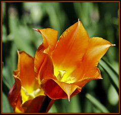 Ladies First (Brian 104) Tags: orange flower tulip ottawatulipfestival flickrduel